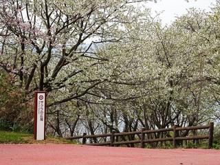 1.草山公園 桜.jpg