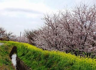 3.宮野旦 桜.jpg