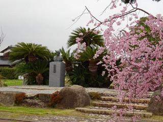 4.和作の広場 桜.jpg