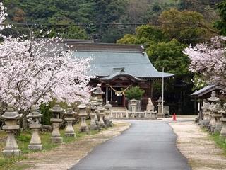 5.赤崎神社 桜.jpg