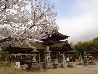 7.正八幡宮 桜.jpg